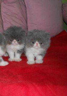 Stunning  Pure breed Persian kitten - 100%