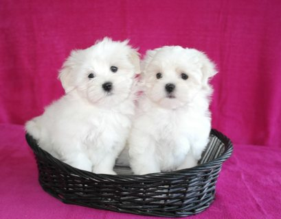 my cute and adorable home trained Maltese puppies(