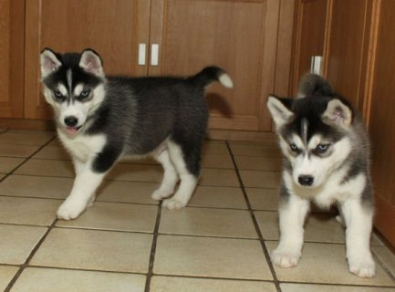 صور Intelligent Siberian Husky puppies 1