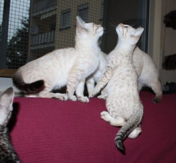 male and female F4 Savannah kittens available.