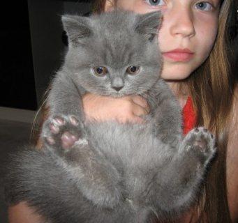 Super British Short Hair Kittens for Adoption