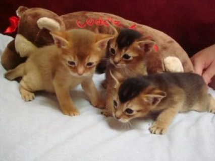 Beautiful Pure-breed Ruddy Abyssinian Kittens (Mal