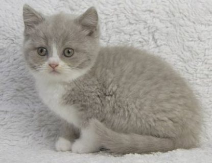 good kooking and well train british shorthair kitt
