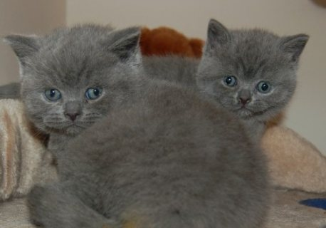 Grey British Short Hiar Kittens for New Home