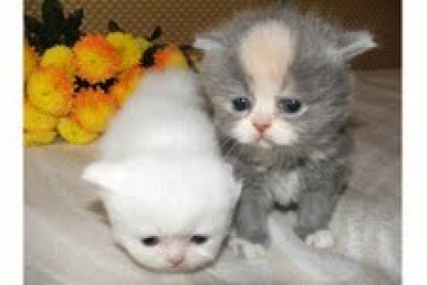 Adorable T.IC.A Kittens inteligent Persian Kittens