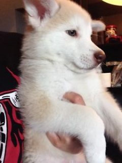 RARE SAMOYED MIX PUPPIES for adoption