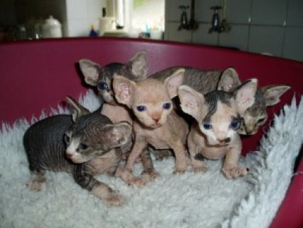 Charming Sphynx Kittens Ready For Adoption