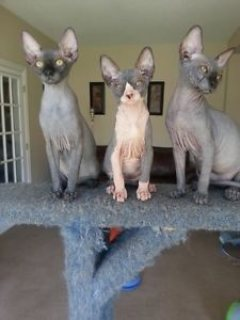 Sphynx Kittens Ready For Adoption