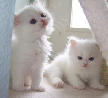Cute Persian Kittens Currentl