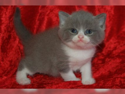 Pedigree British Shorthair Kitt