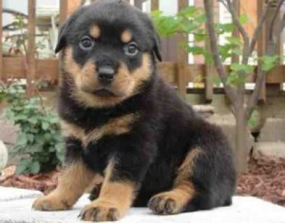 Well trained Rottweiler puppies for new