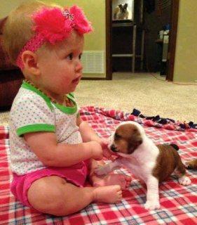 English Bulldog Puppies f