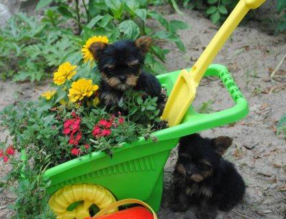 Purebred Tiny Yorkie Pup