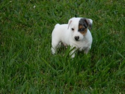 Beautiful True  Jack Russel puppies