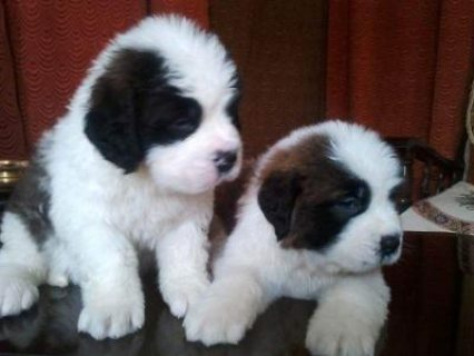 good looking male and female saint bernard puppies