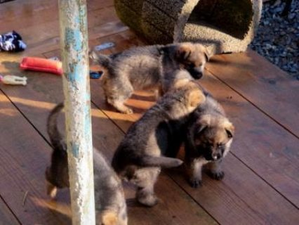 good looking male and female German shepherd puppi
