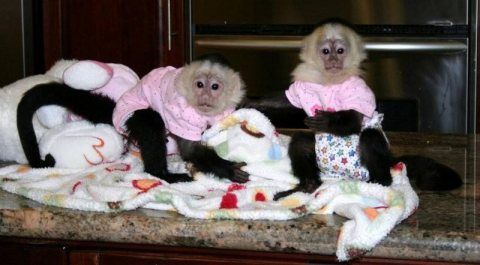 Amazing baby capuchin monkeys Up For Sale.