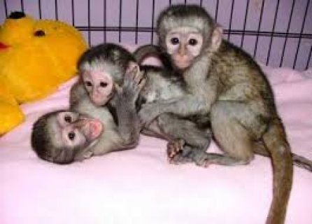 Cute and Charming baby Capuchin monkeys For Sale