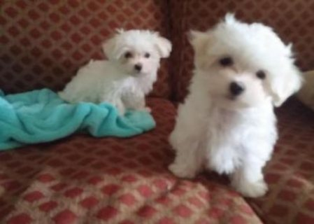 !!!!CUTE MALE AND FEMALE MALTESE PUPIES FOR FREE S