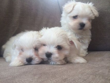 Pure Breed Maltese pups