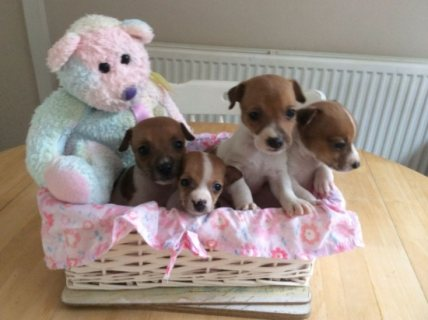 Amazing Jack Russells puppies