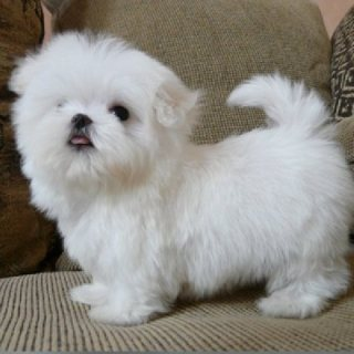Champion teacup Maltese  puppies males and females