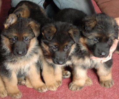 Good looking german Shepherd puppies for sale