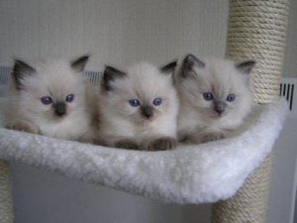 Gorgeous fun loving ragdoll Kittens kittens availa