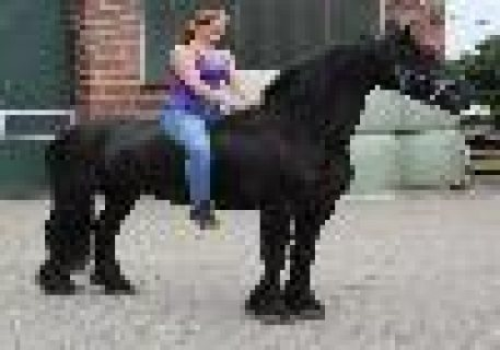 صور New Friesian Horse Available For sale 1