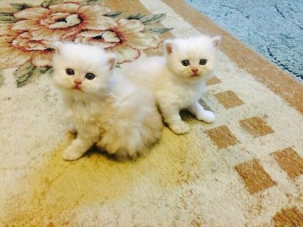 Champion Pure White kittens  babies
