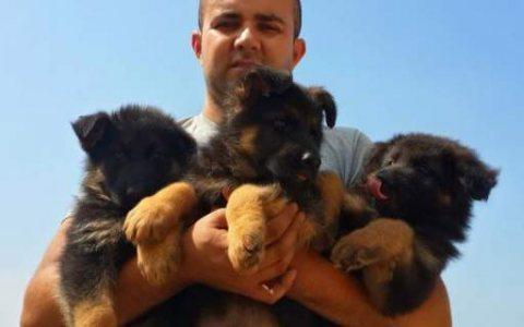 Good looking german shepherd puppies %100 best pup