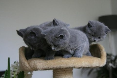 Cutest British Short Hair Kittens Available For Re