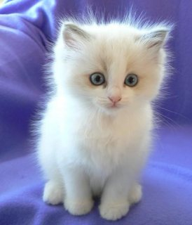 Cutest And Adorable Male And Female Ragdoll Kitten