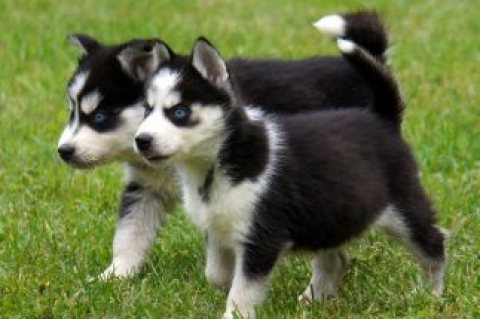 صور K C Registered Blue Eyes Siberian Husky Puppies 1