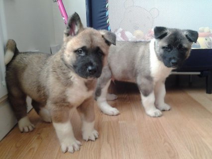 صور Gorgeous Akita Puppies For Sale 1
