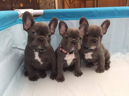 Stunning Litter Of 3 Kc Registered French Bulldog