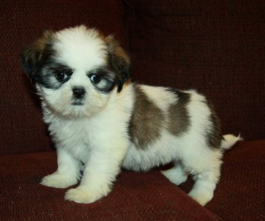 Tiny Show Quality Imperial Shih Tzu Puppies For Sa