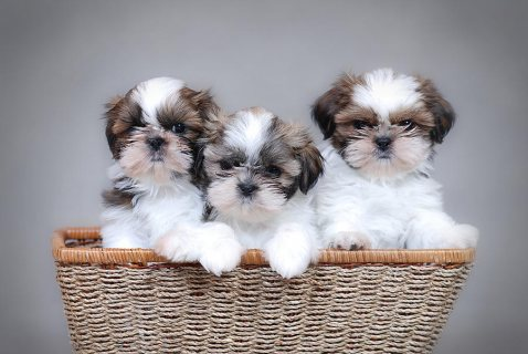 Shih Tzu Puppies With Papers For Sale