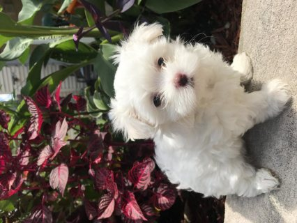 AKC Reg Maltese Puppies For Sale