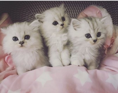 Persian Kittens Ready Now