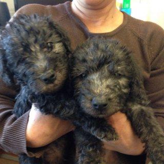 Bedlington Terrier Pups Ready