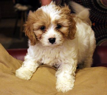 Cavapoo Puppies Available for Adoption