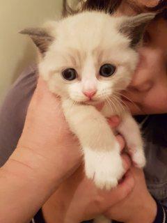 Pedigree Blue Colourpoint Snowshoe Kitten