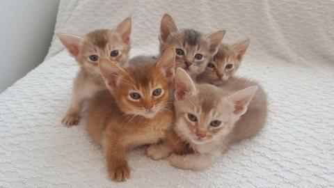 Cute Somali Male and female Kittens