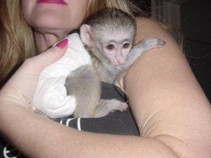 القردة الصحية كابوتشين للبيع