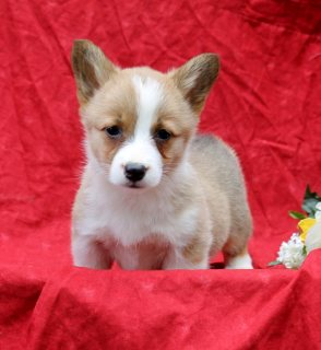 Welsh Corgi Pembroke Dogs for sale
