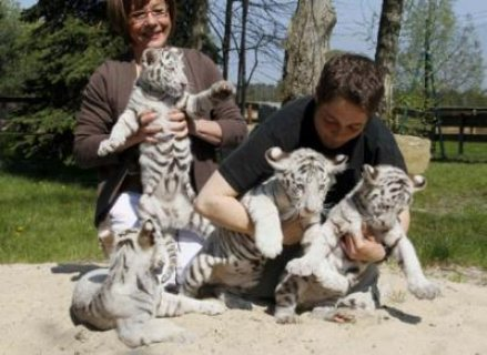White Tigers cubs for sale