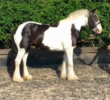 15hh Coloured Native Type For Sale