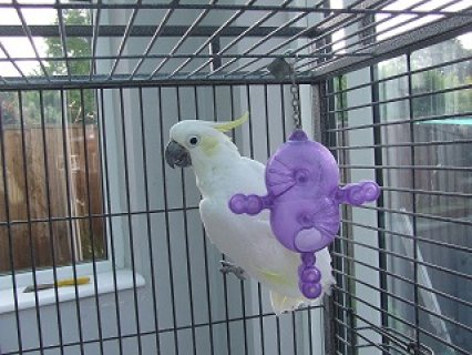 Lovely Cockatoo Parrots For Sale