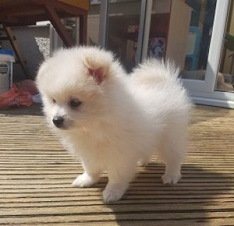 Healthy Pomeranian Puppies For Sale